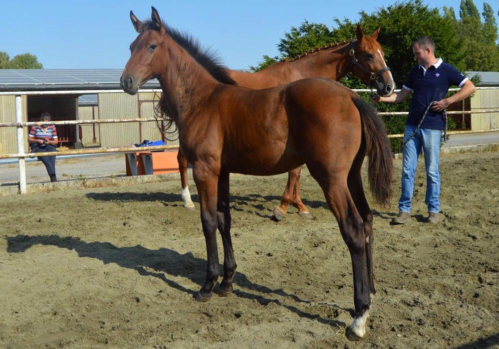 karapus foal à vendre